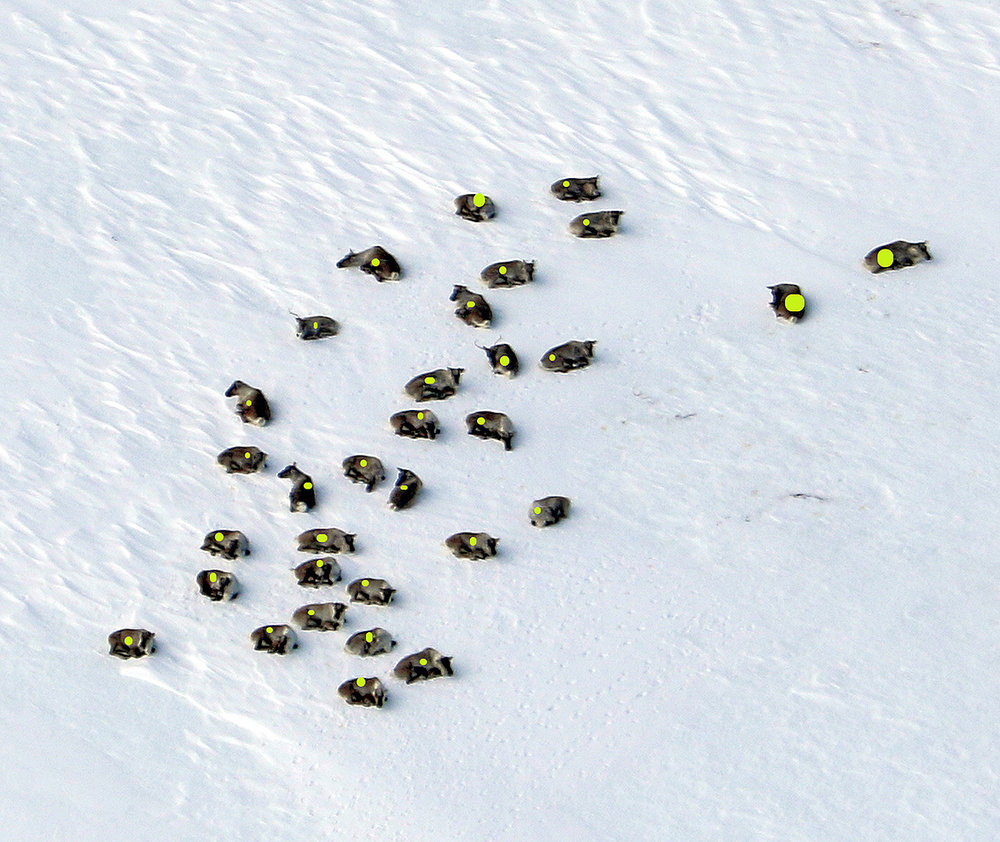 Forstyrret ble heller ikke denne bukkehopen på 32 dyr. Foto: Arne Nyaas