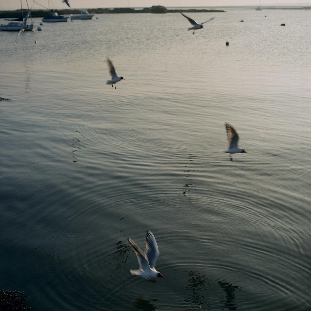 _Gulls