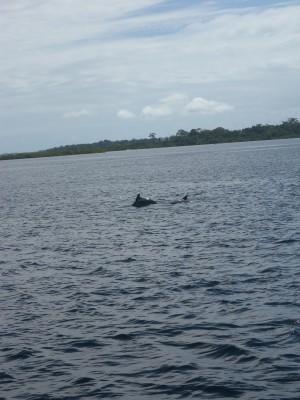Delfiner som leker runt båten