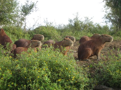 Capybaras living by the river.