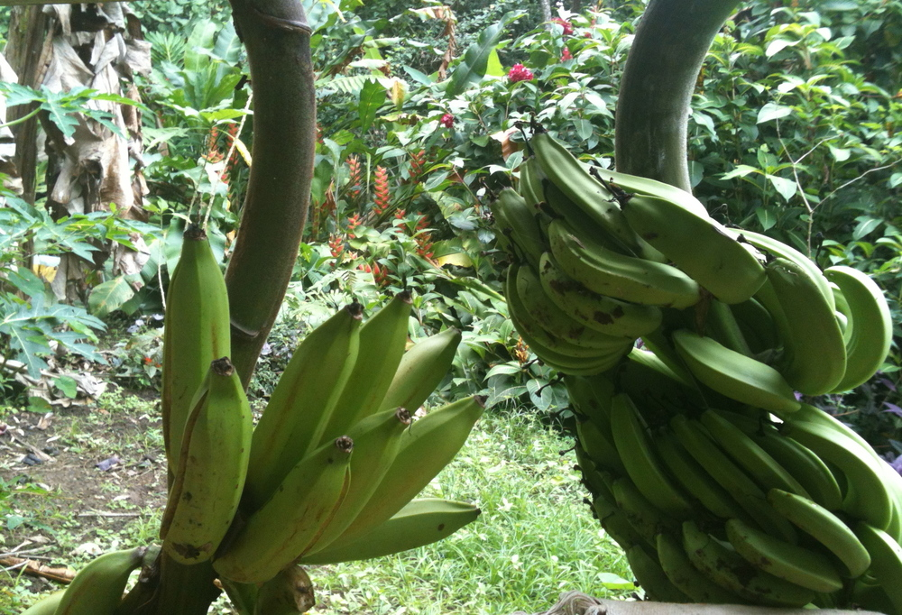 Last night a banana three fell outside the cabin, let's hope the platains are ready to eat soon!