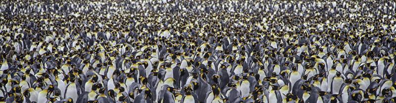 King Penguin Colony - Salisbury Plain, South Georgia Island