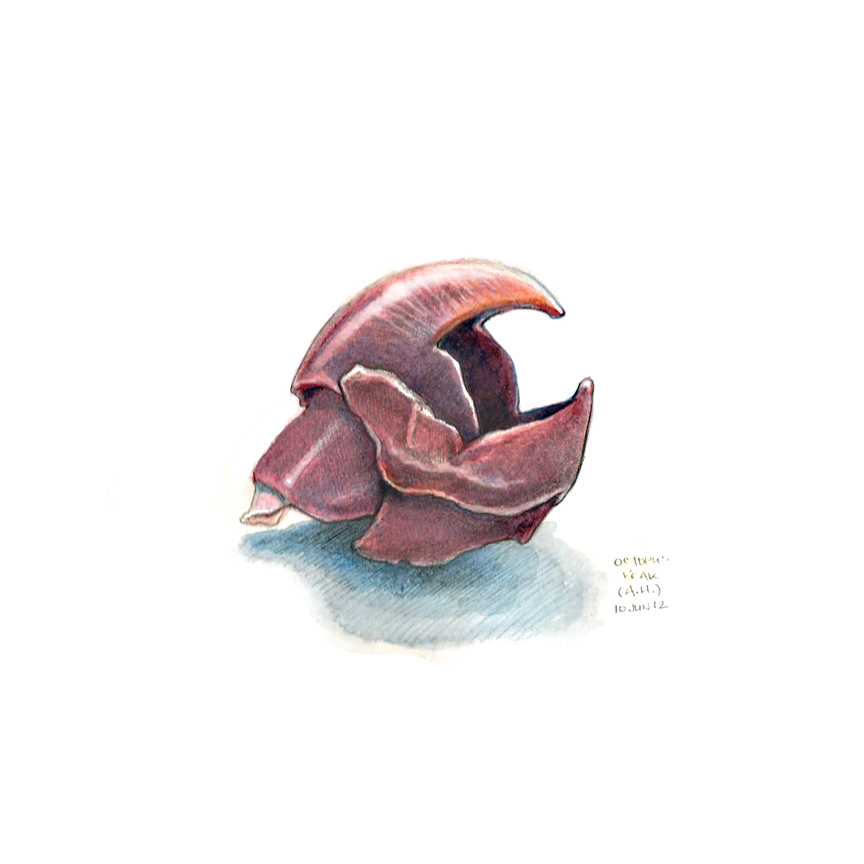 octopus_beak.jpg