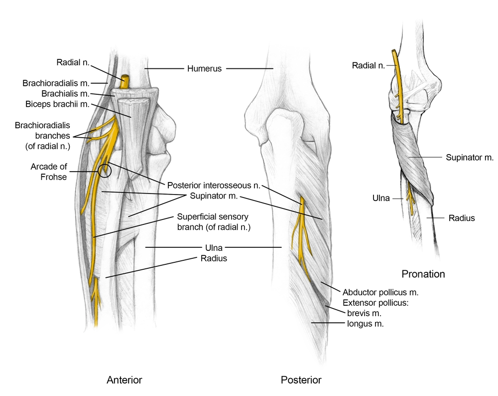 Radial Nerve in the Elbow
