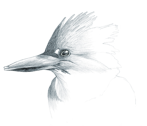belted_kingfisher.jpg