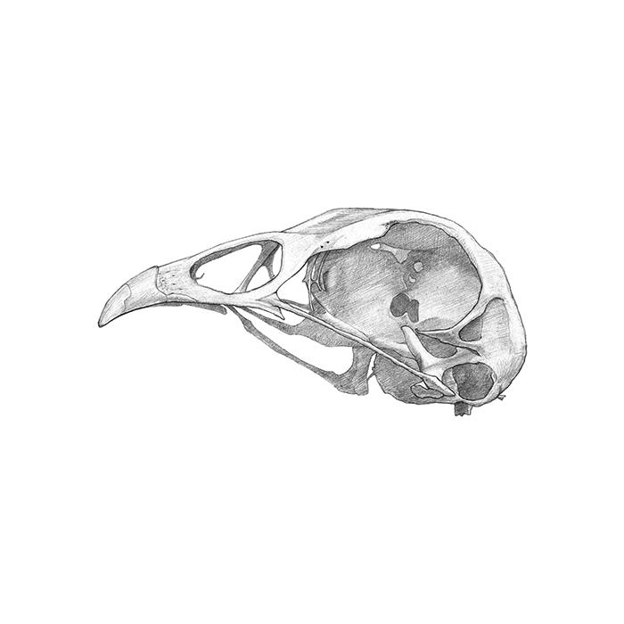 chicken_skull.jpg