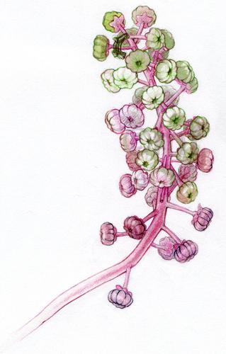 polk_berries.jpg