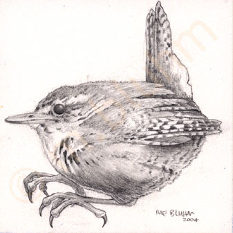 mbluhm_winter_wren.jpg