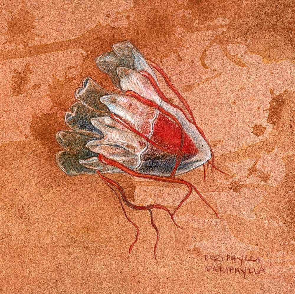 periphylla_on_brown001.jpg