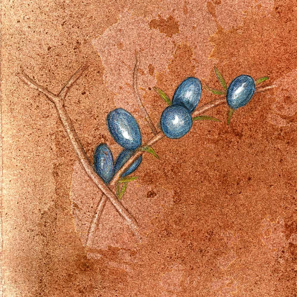 unknown_blue_berries_OB002.jpg