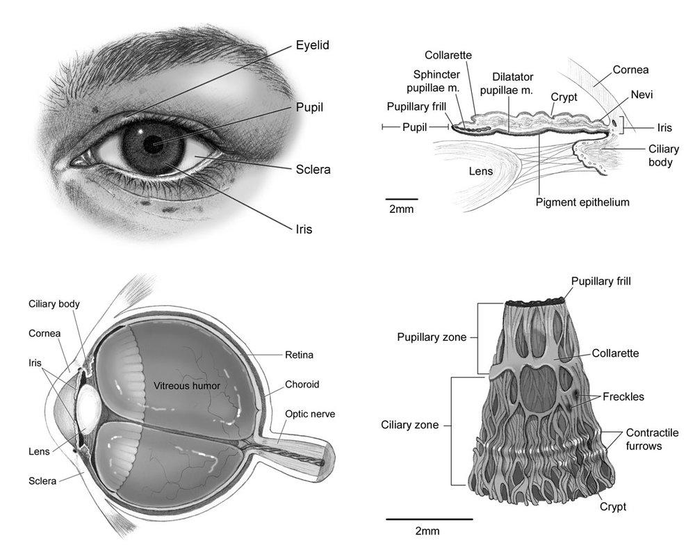 iris_anatomy.jpg