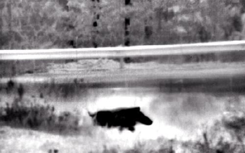 Wild+boar.jpg