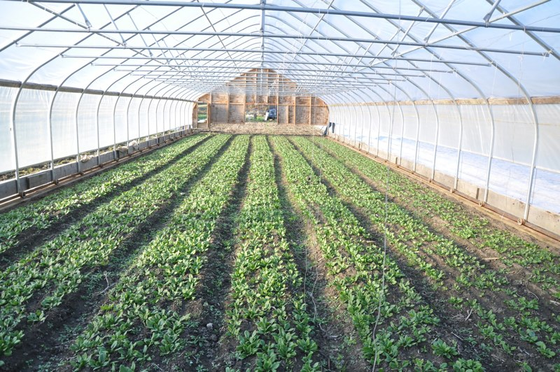 Greenhouse Spinach in Moveable tunnels