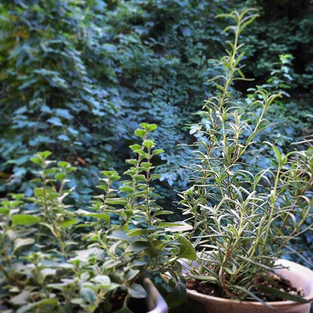 Good morning windowsill herbs!