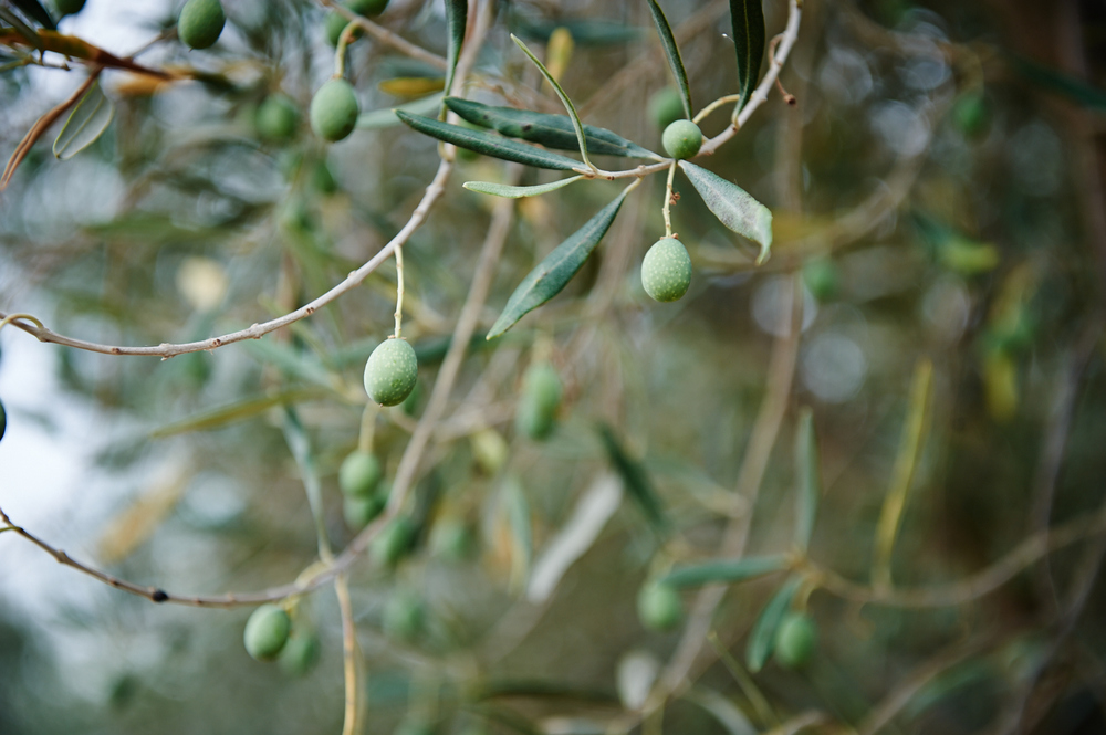 Young olives. Destined for artisan olive oil.