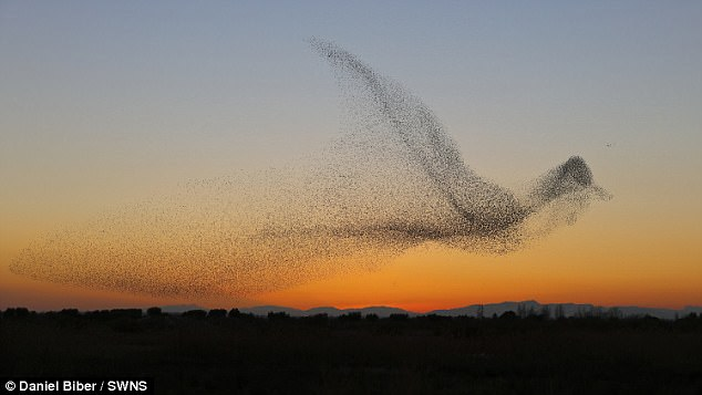 Above: Starlings in flight take form of larger bird, like a real-life organize fish.