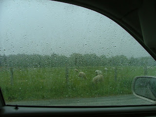 Airfield+sheep+in+the+rain.jpg