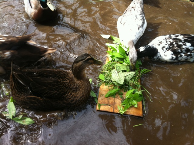 ducks at the floating buffet