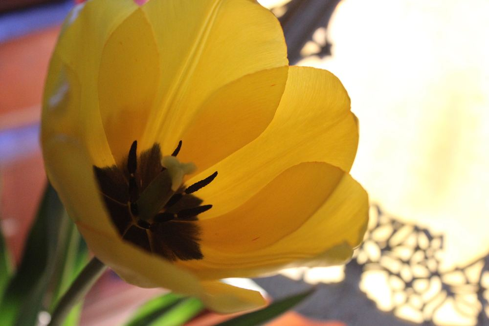 Yellow Tulip.jpg