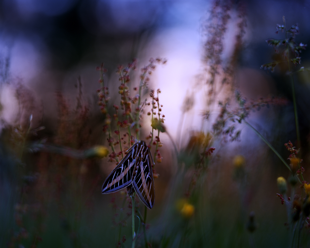 Hawkmoth, 4x5 on Ektar 100 with the Graflex. Early morning, home in Michigan.
