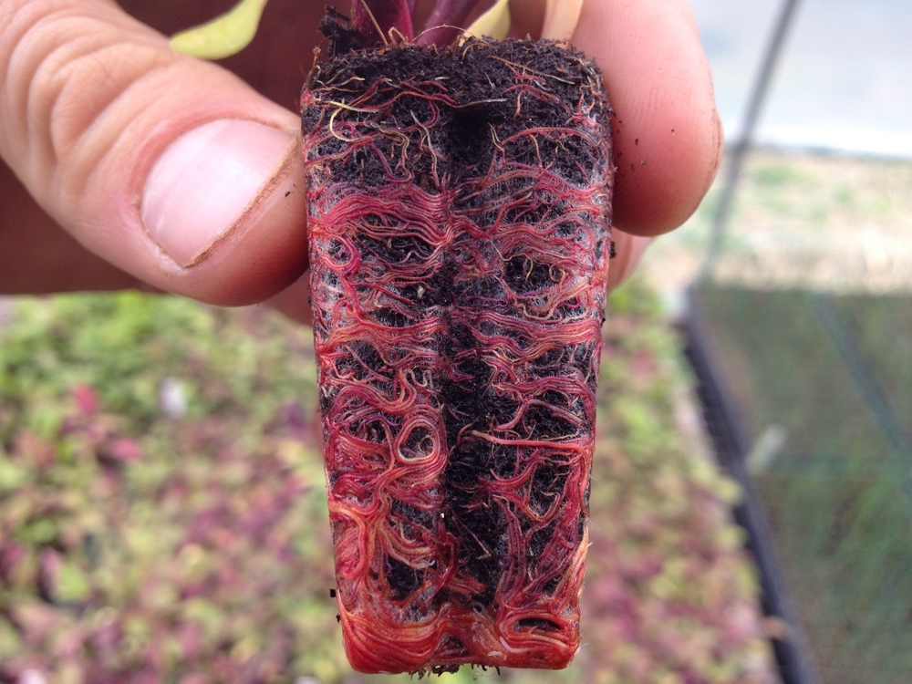 Examining a beet transplant for moisture level reveals something extraordinary.