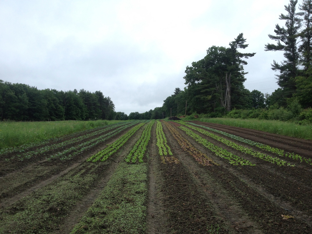 The lettuces, each one hand-transplanted, make this field particularly beautiful.