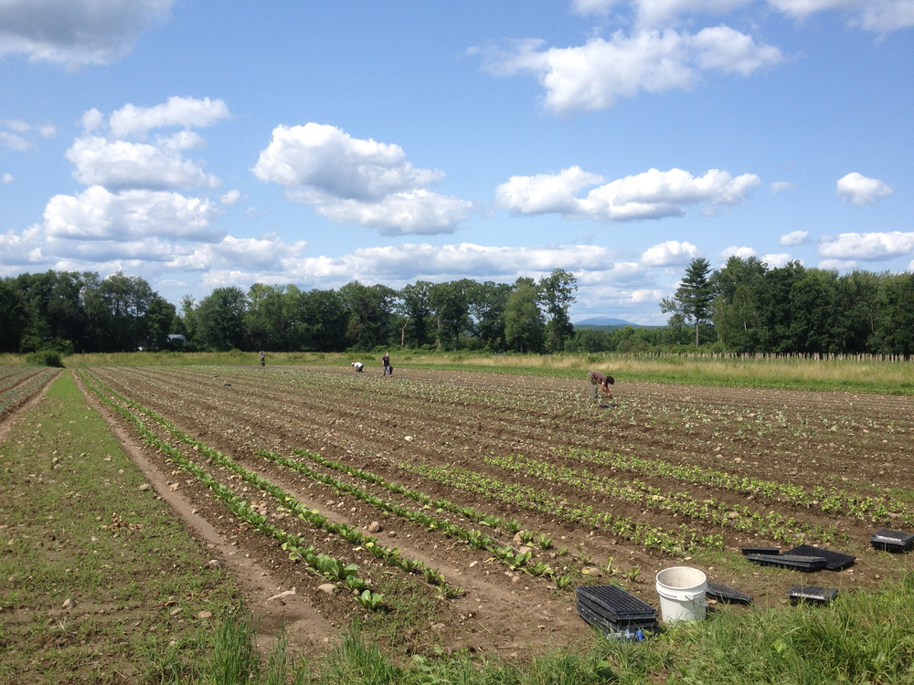 An all-day brassica transplant session, with Mount Monadnock in the distance.