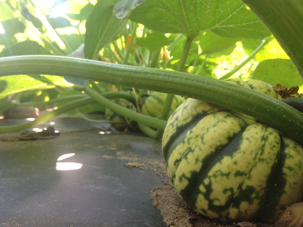 Here come the winter squash.