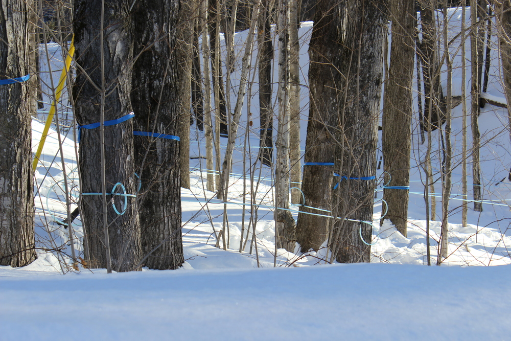Sap lines - tubes running from almost 400 tapped Sugar Maples down through the woods to a central collection point - ready for the first thaws of spring.