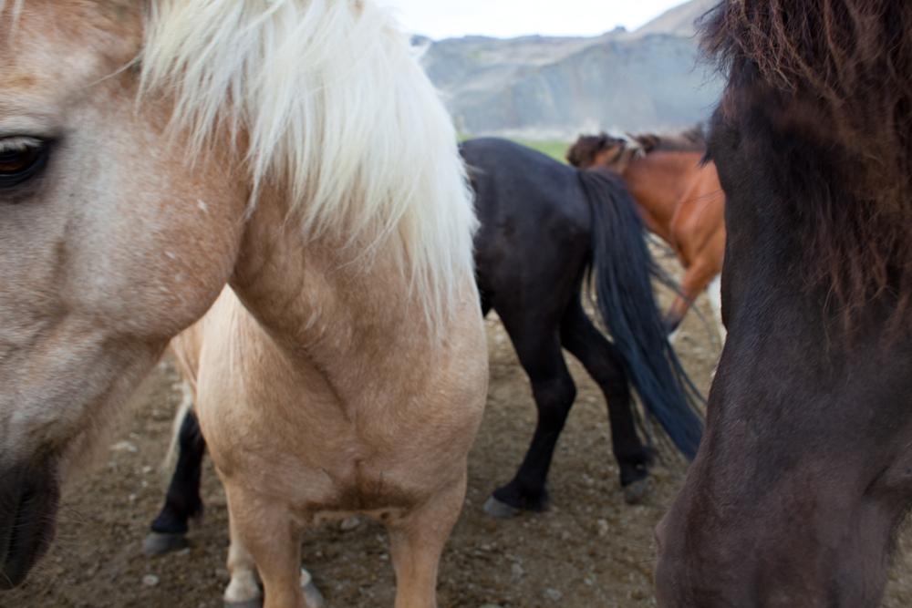 Horses // Búðir, Iceland