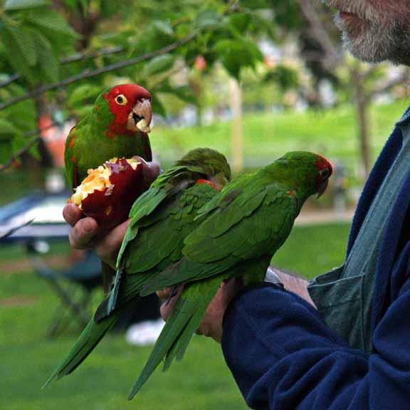 Parrot Man