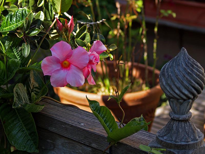 Backyard Pink