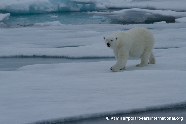 Polar Bears International uses Google Maps API to track bears. Image copyright Kt Miller, Polar Bears International.