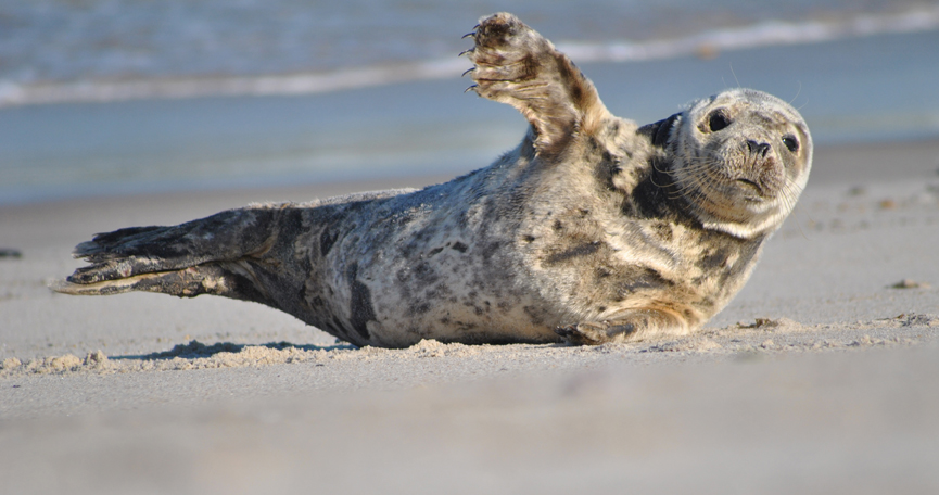 Young Grey Seal