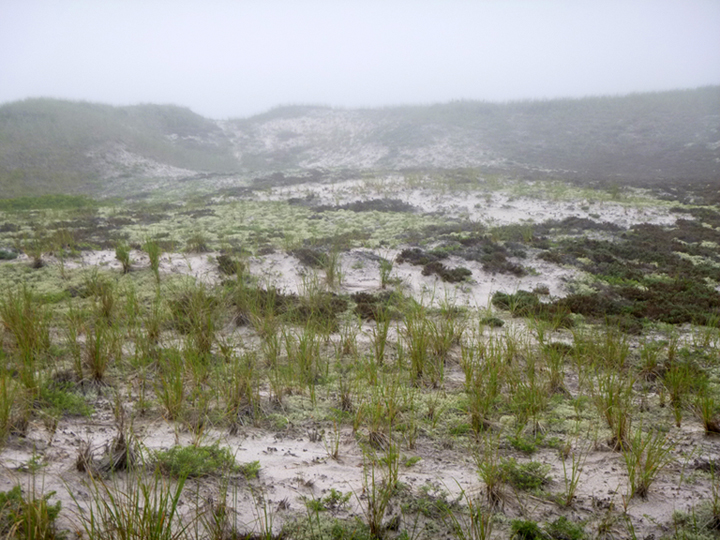 The lichen and dunes in the mist