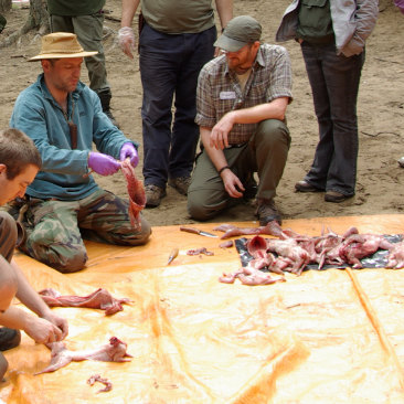 Animal Preparation  Help and observe an animal, such as a sheep, being skinned, gutted and butchered for cooking.