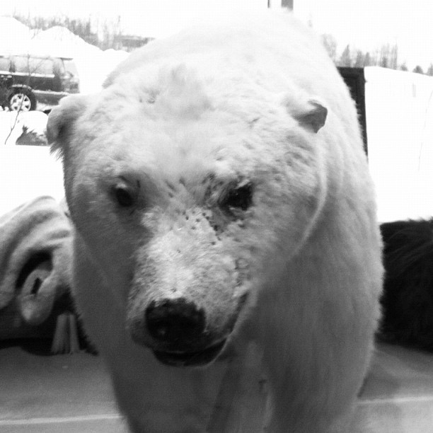 Buy polar bear #iceland #taxidermy #bears (Taken with  Instagram  at Geysir)