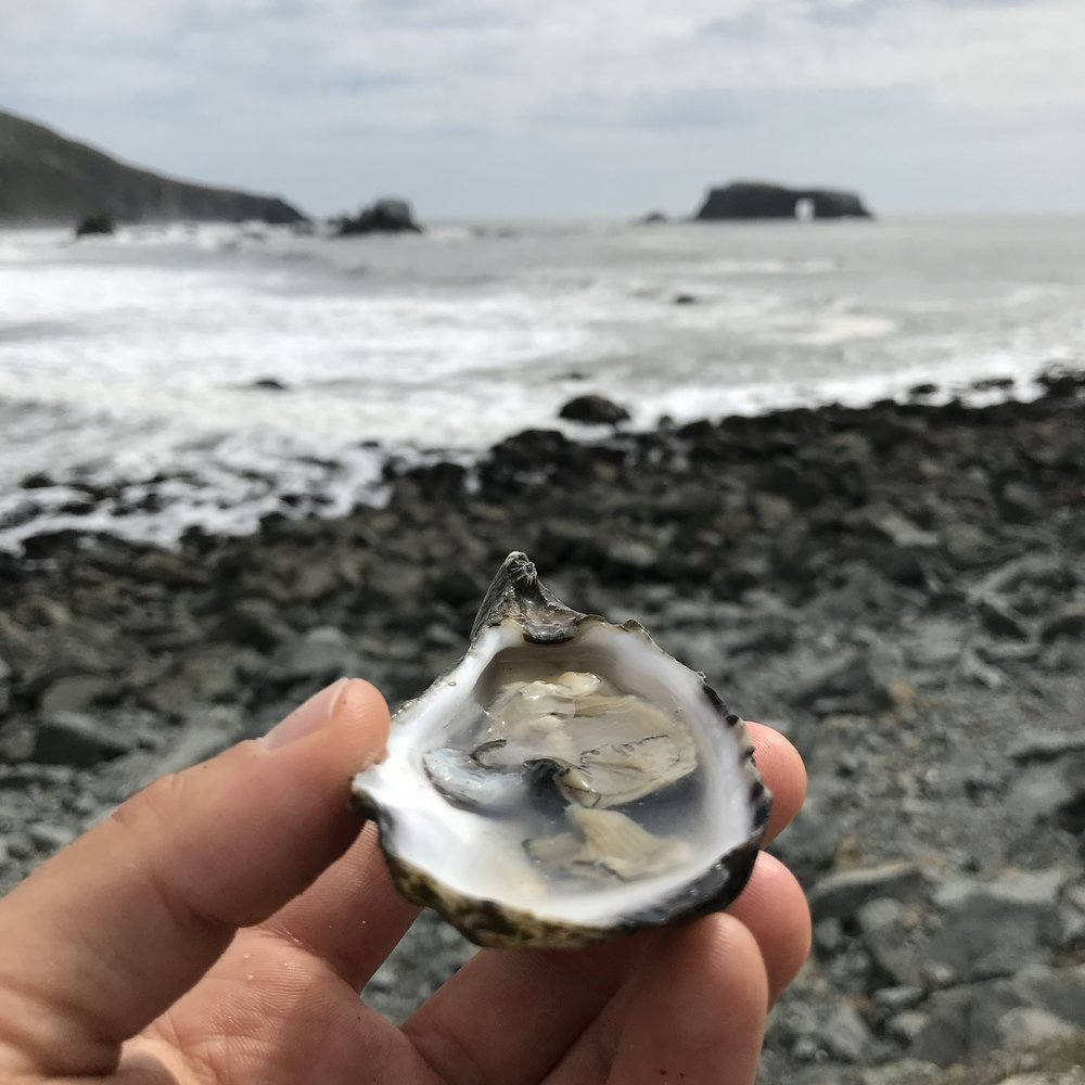 Hog Island Oyster at Goat Rock Beach Jenner California at Sonoma Coast