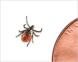 Small but mighty, the black legged tick (commonly known as the deer tick).