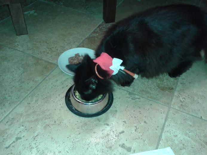 Galileo enjoying his first meal after 2 days of assisted feeding.