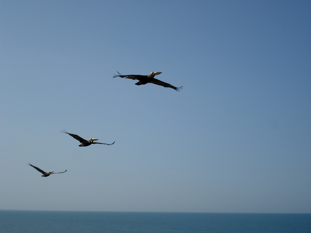 Pelicans in flight at Daytona Beach, Florida