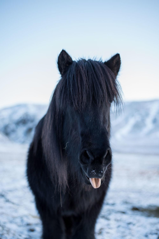 Icelandic Horse Photography