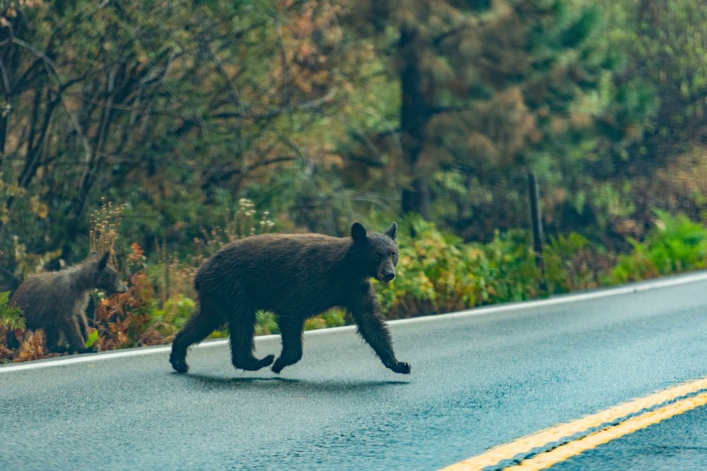 Let's take a second and talk about bears… - Please remember when you are visiting the beautiful National Parks you are also visiting the homes of many wildlife. Please remember that any second one of these beautiful animals may cross the road; keep your eyes on the look out and your speed down. Also, I know you may really want that photo of a bear close up, but do not chase the bears to get that photo, observe from afar. Respect the animals and their space. Remember to practice No Trace Behind while visiting the park for the well being of the ecosystem and the animals that live there.