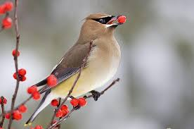 Cedar Waxwing - they often pass the berries back and forth, sharing with each other.