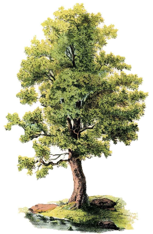 Shade Tree_circa 1875.jpg