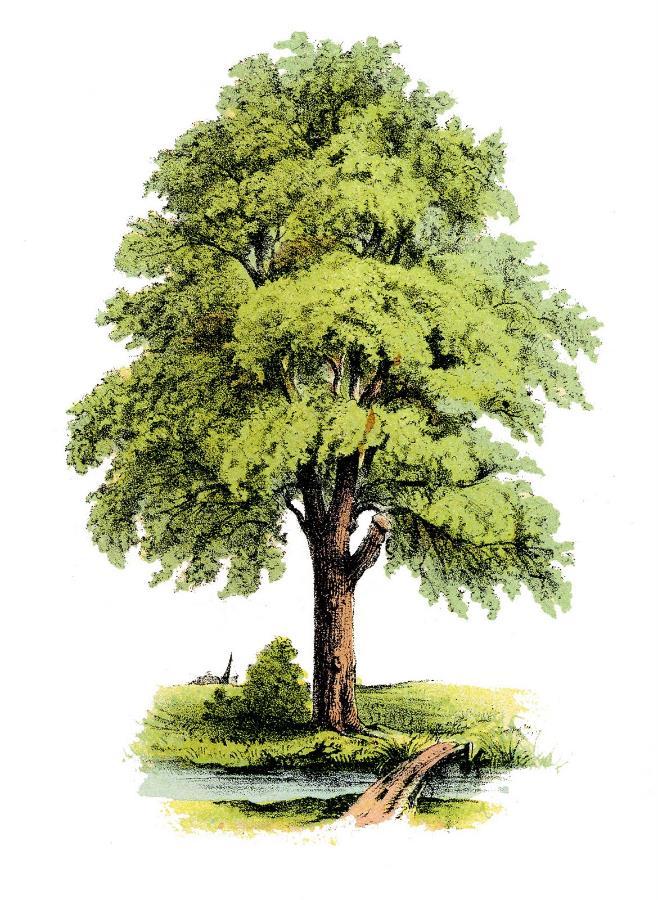 German Tree_03.jpg