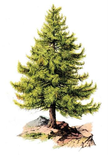 German Tree_Tree_circa 1875_05.jpg