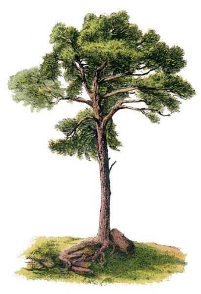 German Tree_Tree_circa 1875_03.jpg