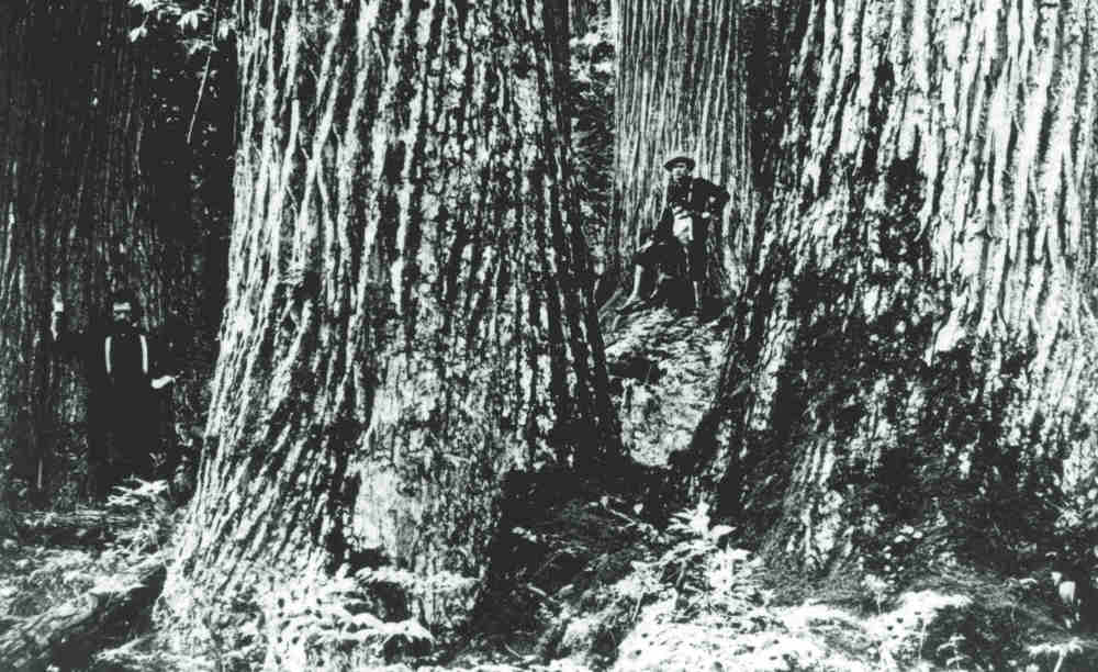 THE AMERICAN CHESTNUT (article)