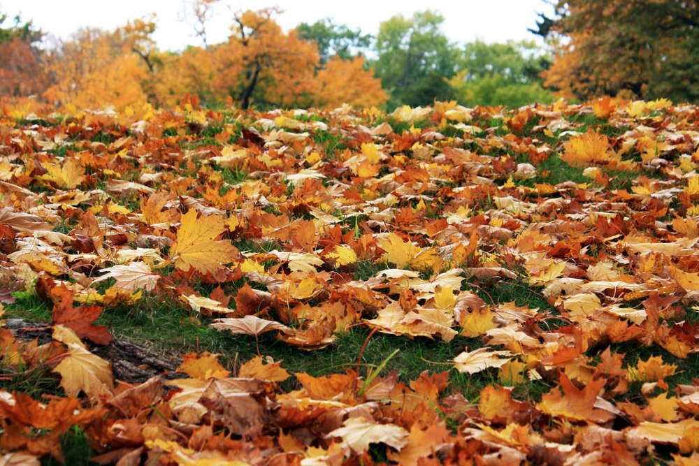 WHAT TO DO WITH FALLEN LEAVES (article)